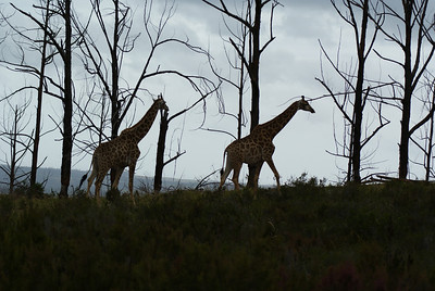 Giraffe at Plettenberg.