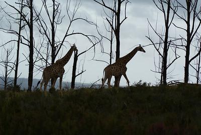 Giraffe at Plettenberg.