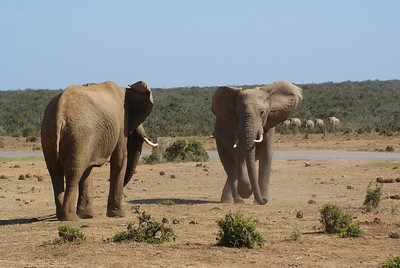 A few elephants got aggresive with each other.