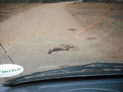 We came back a second day and something had torn the leg bone off of the buffalo carcass and left it in the road.