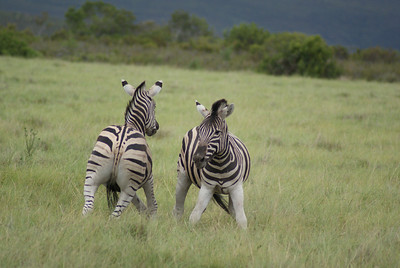 Zebra fighting.