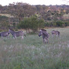 the elusive zebra . . .now that's a horse of different color