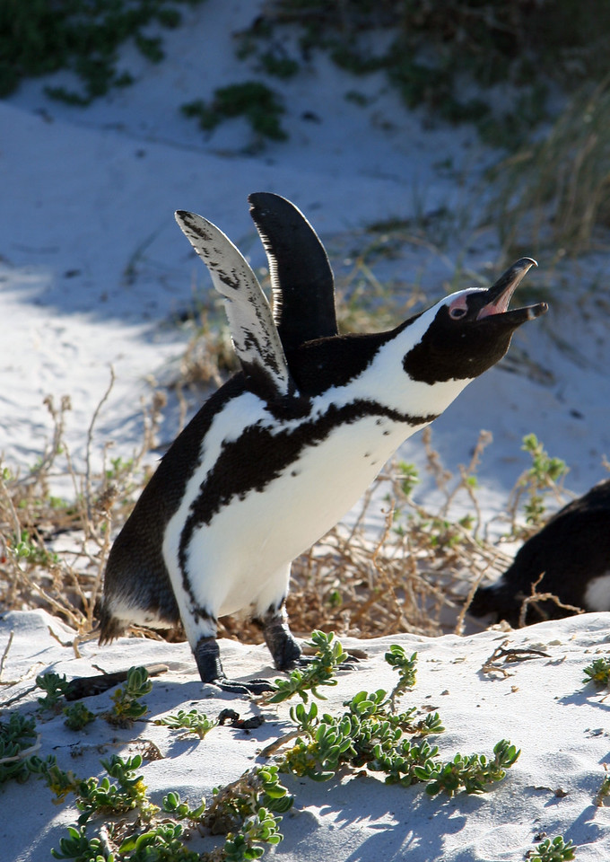 """The penguins make a funny braying/honking sound, which gave them their original name, the """"Jackass Penguins."""" I guess someone thought better of it and changed their names to """"African penguins"""" since it's nicer and they are the only penguin species that nests here on the southern African coast."""