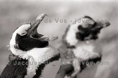 Penguins - Boulders, Simonstown