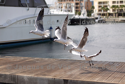 Seagull in flight - V&A Waterfront  Cape Town, South Africa
