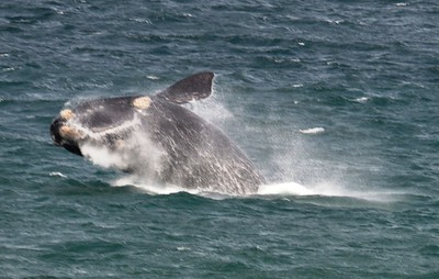 Breaching Whale - Hermarnus Bay ……………….[ Copyright © - Photo by Barry Jucha ]