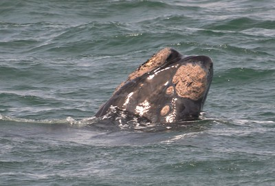 Whale mouth and face - Covered in Barnacles. Hermarnus Bay……………….[ Copyright © - Photo by Barry Jucha ]