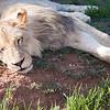 Adolescent lion