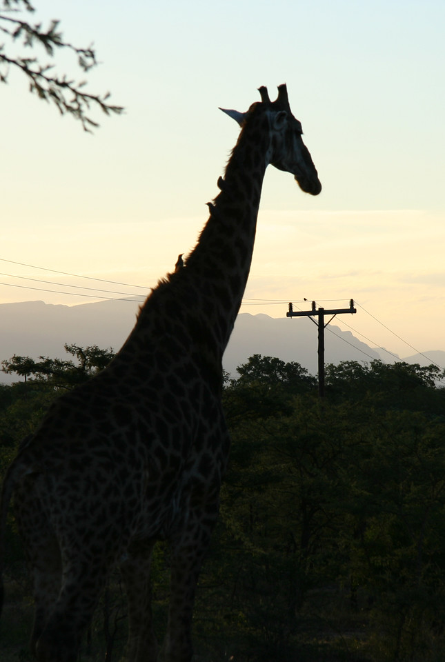 """I call this piece, """"Giraffe and Electric Pole."""""""