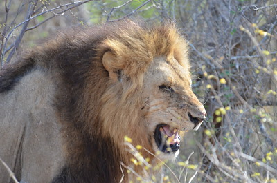 Lion encounter near Skukuza Rest Camp.  Encounter with 2 male lions and 1 female……………….[ Copyright © - Photo by Barry Jucha ]