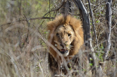 Lion near Skukuza……………….[ Copyright © - Photo by Barry Jucha ]