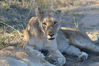 Lioness - resting on side of road near Skukuza - Kruger National Park South Africa ……………….[ Copyright © - Photo by Barry Jucha ]