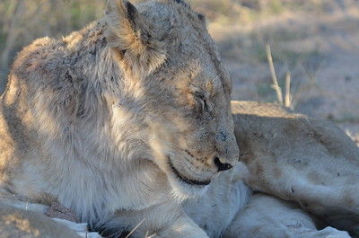 A lazy afternoon in Kruger National Park……………….[ Copyright © - Photo by Barry Jucha ]