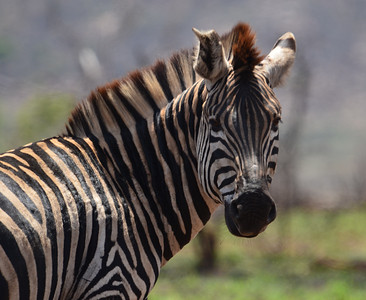 Zebra What a face! Kruger National Park.  South Africa [Copyright © - Photo by Barry Jucha ]