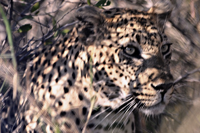 Leopard encounter  - On an isolated sand road near Berg-En-Dal ……………….[ Copyright © - Photo by Barry Jucha ] An amazing encounter with this cat. After hours of searching for game we were lucky enough to encounter him.