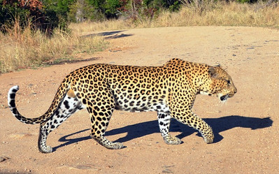 Leopard encounter completes when he decides to move on……………….[ Copyright © - Photo by Barry Jucha ]