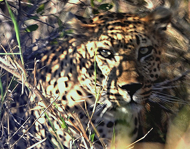 Leopard.                                         So close we almost missed him……………….[ Copyright © - Photo by Barry Jucha ]