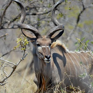 Kudu  Kruger National Park.  South Africa [Copyright © - Photo by Barry Jucha ]