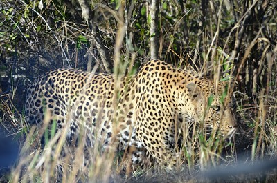 Leopard - an amazing animal. ……………….[ Copyright © - Photo by Barry Jucha ]