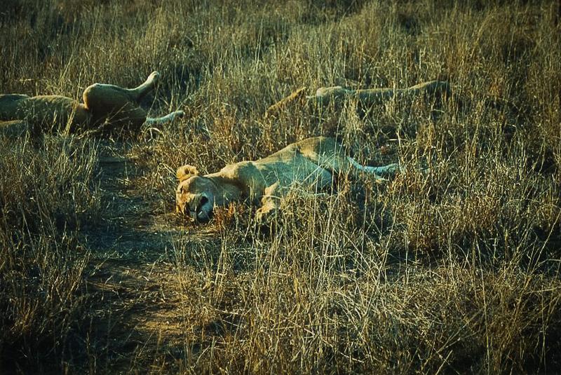 Lions at Ngala