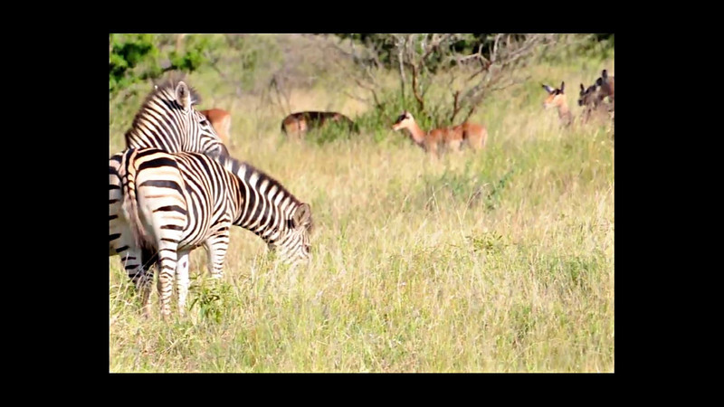 "Press ""Play"" button to see the Zebras in action!"