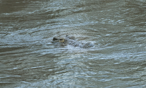 Crocodile in Kruger Park