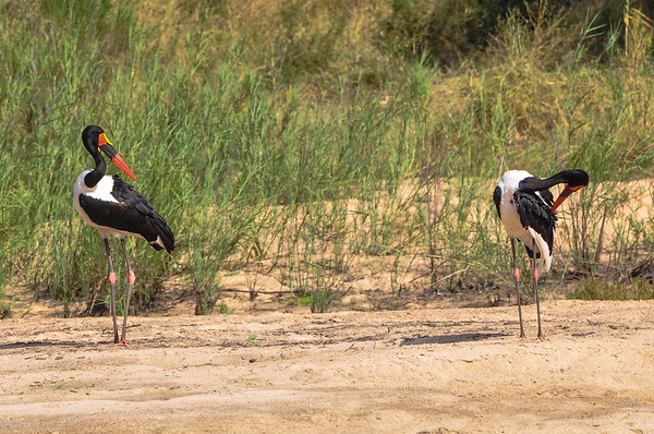Saddle-Billed Stork are the tallest storks in Africa.