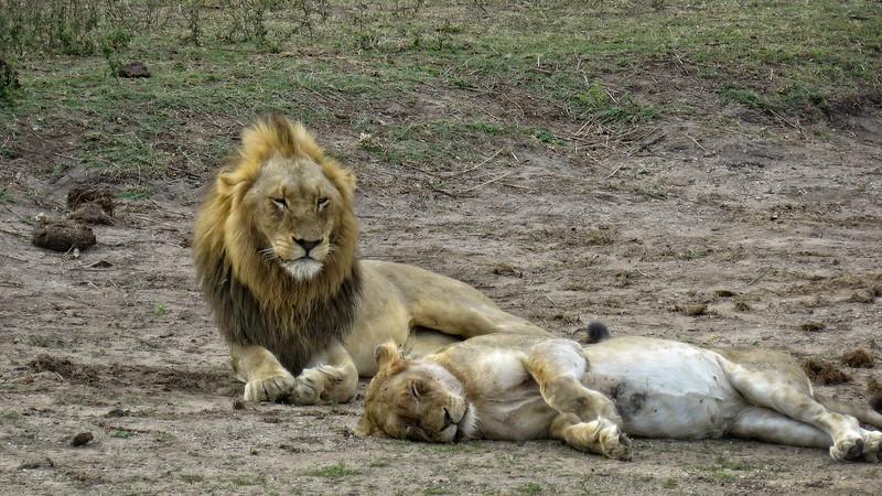 Sun Bathing Lions