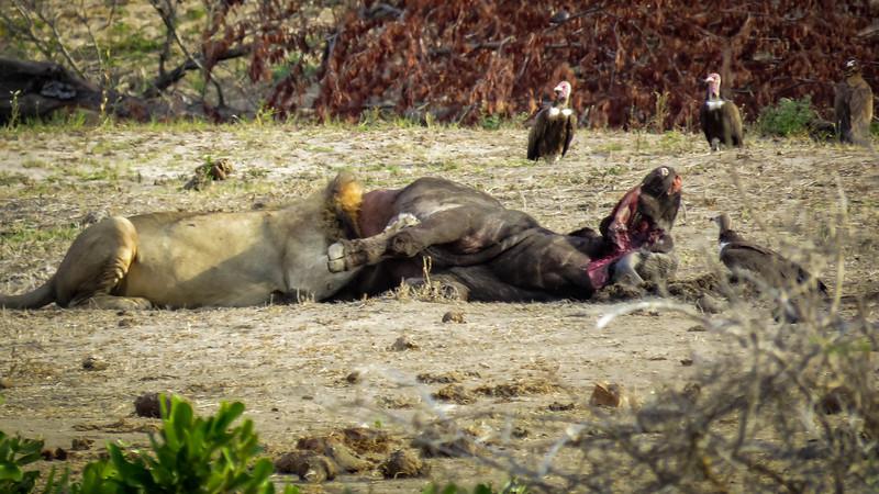 Cape Buffalo Kill