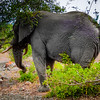 Elephant near Satara Camp