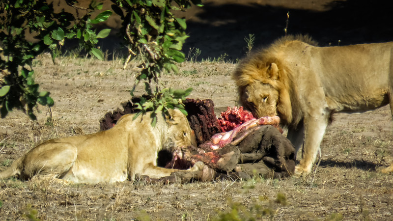 Lion Kill - Cape Buffalo