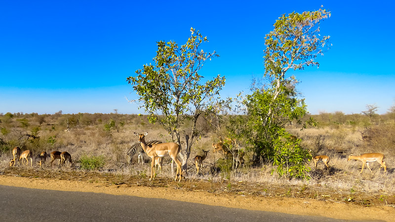 Impala and Zebra along the Road