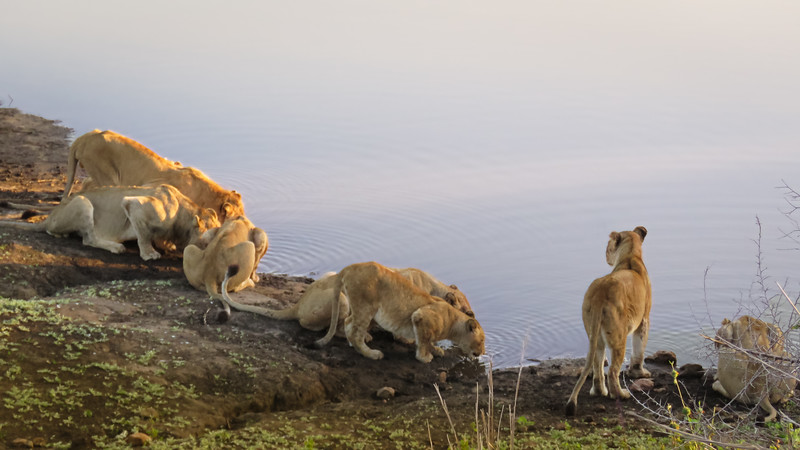 Lions at the Waters Edge