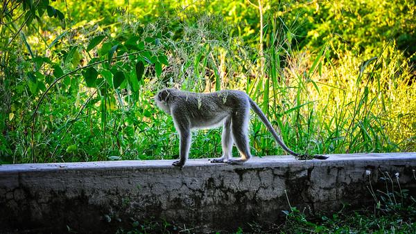 Vervet Monkey in Skukuza Restcamp