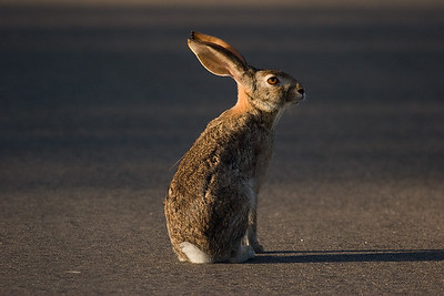 Early morning hare. Krueger National Park, South Africa.