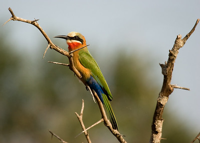 White-fronted Bee-eater (merops bullockoides). Krueger National Park, South Africa.