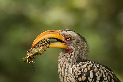 Yellow beaked hornbill eating a grasshopper. Birds of Eden, Plettenberg Bay, South Africa.