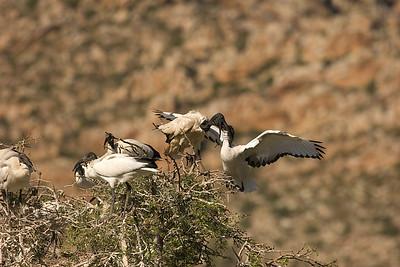 Sacred Ibis (threskiornis aethiopicus). Montagu, South Africa.