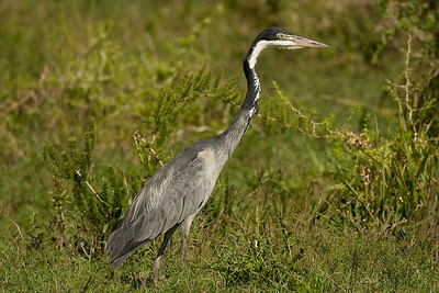 Heron. Addo Elephant National Park, South Africa.