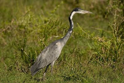 Heron. Addo Elephant National Park, South Africa.