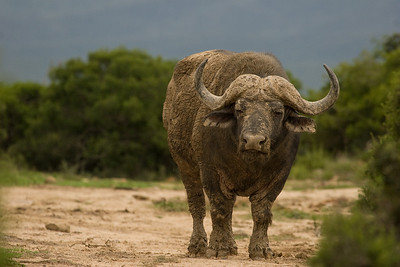 Water buffalo. Addo Elephant National Park, South Africa.