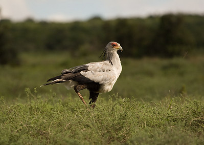 Secretary bird (sagittarius serpentarius). Addo Elephant National Park, South Africa.