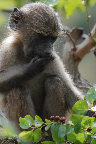 Baby baboon eating in a tree. Hluhluwe-Imfolozi Game Reserve, South Africa