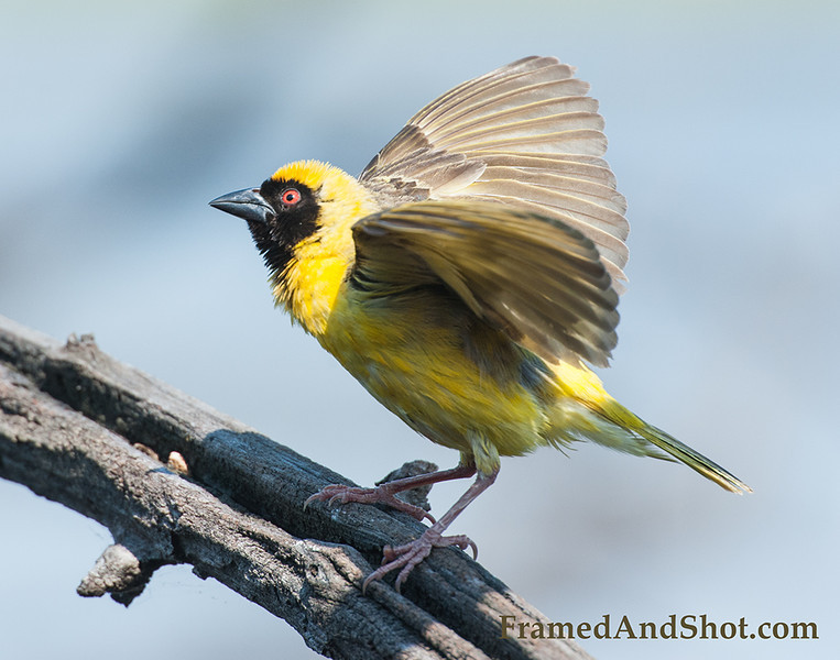 <strong><center><b> Black Headed Weaver</b></center></strong> The black-headed weaver is a member of a large family of weavers found throughout most of Sub-Saharan Africa. They are noted for the construction of complex nests woven from grass.