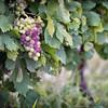 Vineyard, Seven Oaks Wine Estate