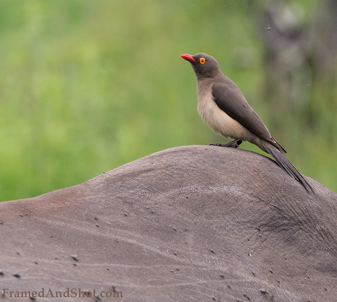 <strong><center><b>Oxpecker</b></center></strong> The Oxpecer feed exclusively on the backs of large mammals. They feed on ectoparasites, particularly ticks, as well as insects infecting wounds and the flesh and blood of some wounds as well