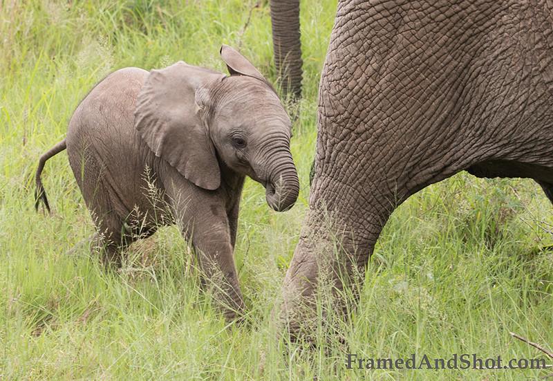<strong><center><b> Elephant Calf I  </b></center></strong> A young elephant is called a calf . Elephants are usually born with an unbelievable mass of 77-113 kilograms. This weight is however only four percent the weight of an adult female and only two percent of an adult male.