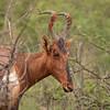 Red Hartebeest 1