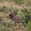 Zebra 7