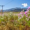 Roadside Cosmos wildflowers, Free State